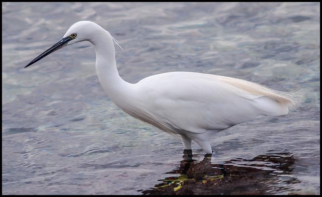 garceta blanca- Snowy egret