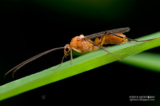 Winged ant (Diacamma sp.) - DSC_8774