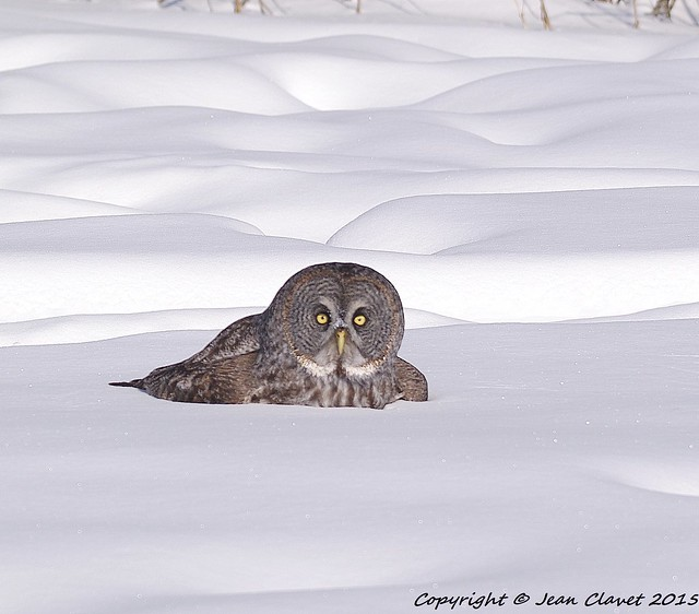 Chouette lapone/ Great grey owl