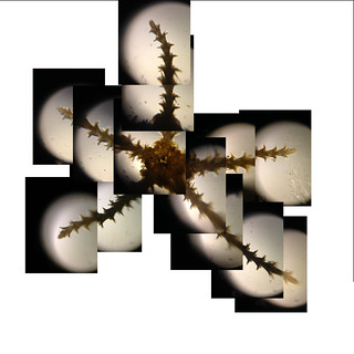 Foldscope: Crude Composite image of starfish | by Damon Tighe