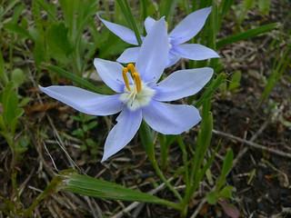 PC0016 Nemastylis geminiflora | by mccormacka