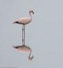 Puna Flamingo, Ite by hogsas