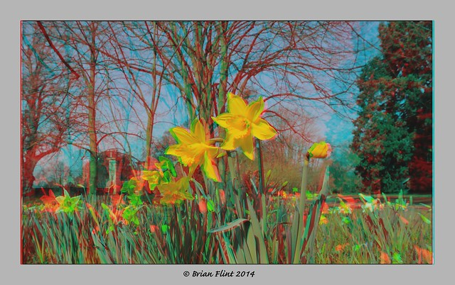 Daffodils in the park - 3d anaglyph