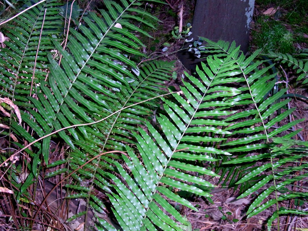 Swamp Water Fern (Blechnum indicum)