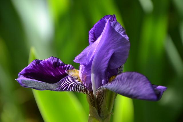 Iris 'Monsignor' - Vilmorin 1907 8752432329_57c3c1538d_z