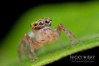 Jumping Spider (Pancorius sp.) - DSC_6841