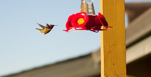 california new blue light sky bird sunrise photography coast photo hummingbird joshua main north central fast feeder salinas photographs photograph f18 humming lense joshuaww