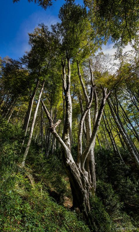 Árbol monumental