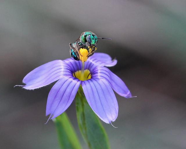 Sweat Bee (Augochlorella sp.) on Blue-eyed Grass (Sisyrinchium sp.)