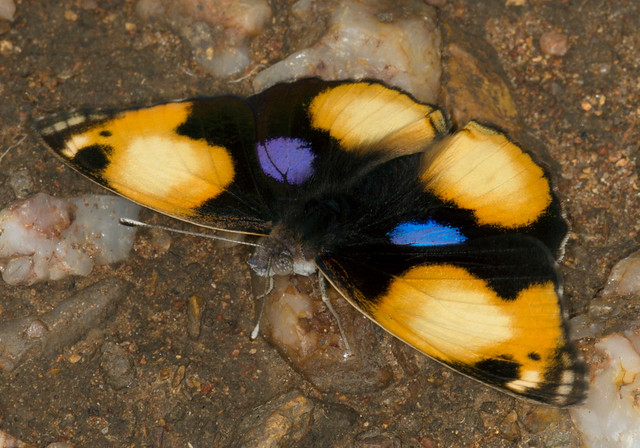 Yellow Pansy, Junonia hierta, Turk Mine, Zimbabwe1