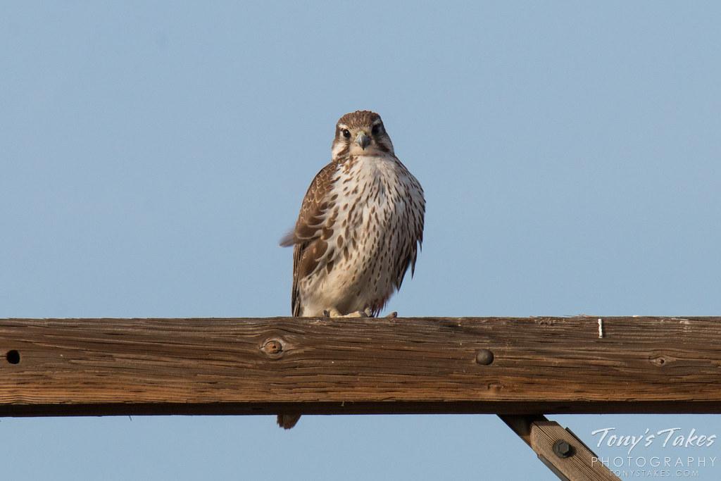 Prairie Falcon keeps watch on the photographer