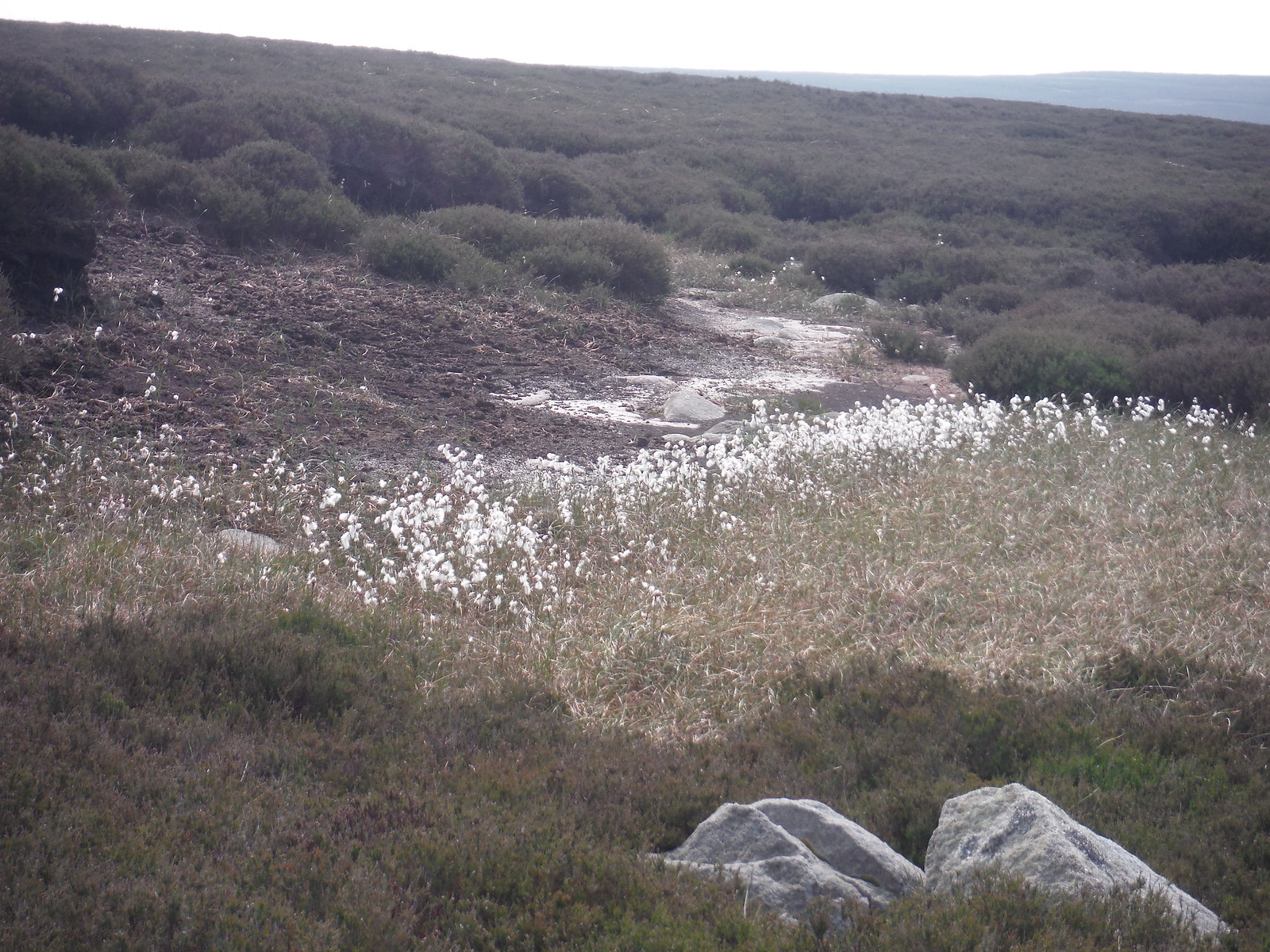 Cottongrass, Burbage Moor SWC Walk 266 - Sheffield to Bamford (via Burbage Rocks and Stanage Edge) or to Moscar Lodge