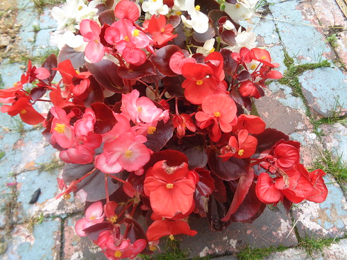 'Devil Delight Mix' Begonia Fibrous Root | by eamoncurry123