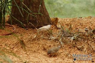 Australischer Zebrafink