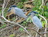 Boat-billed Herons - Cochlearius cochlearius (Ardeidae) 113s-14140 by Perk's images