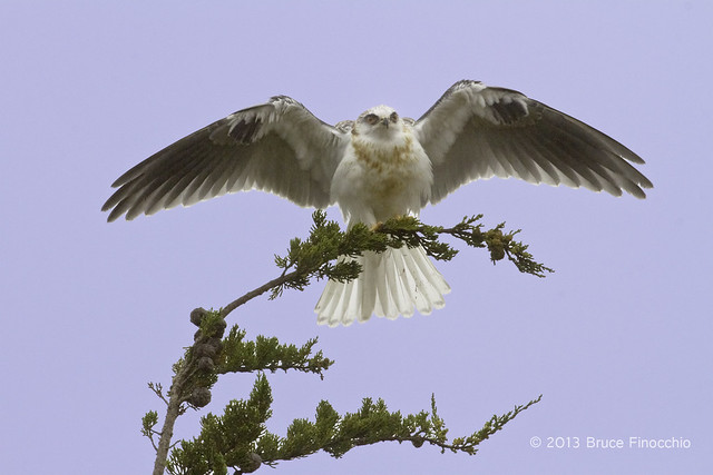 White-tailed Kite With Wings Spread As It Lands