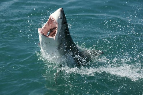Great White Shark in South Africa | by travelbagltd