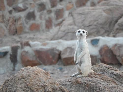 Brandberg - suricate 2