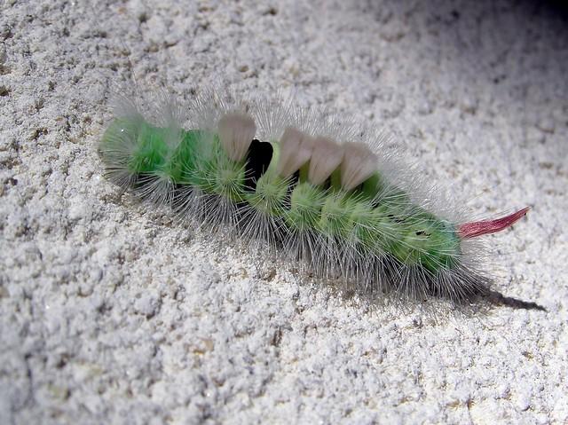 Calliteara pudibunda - Chenille de la Patte-étendue ou Orgyie pudibonde  - Pale Tussock - 07/10/13