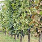 9-Alaverdi. Todas variedades de uva de Georgia