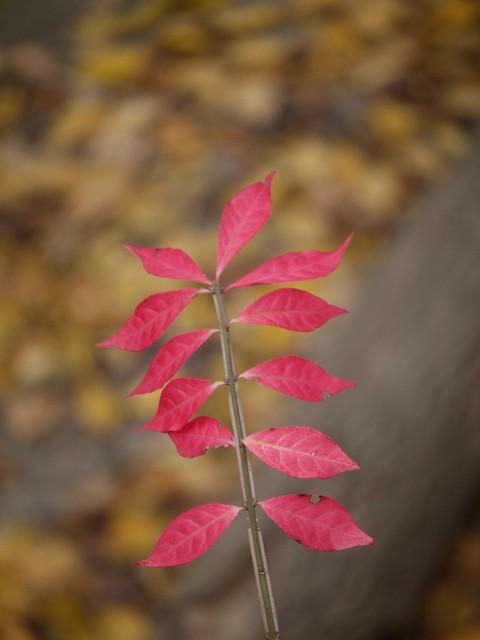 日, 2013-11-03 13:25 - Bronx Botanical Gardenの紅葉