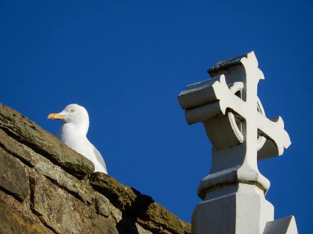 Gull on wall from St Andrews cemetery