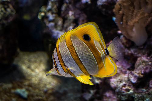 Copperband Fish - Dallas World Aquarium - Dallas, TX