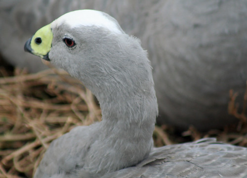 20130505_9704 Cape Barren Goose - Cereopsis novaehollandiae | by williewonker