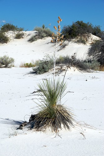 Yucca at White Sands 1 | by Bill Cheeseman