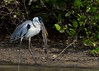 Cocoi heron (Ardea cocoi) with catfish, Pantanal, Brazil by Free pictures for conservation