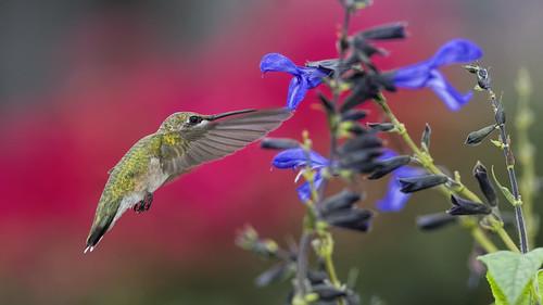 Hummingbird and Salvia_DSC2426