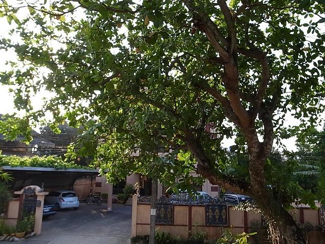 <p>カシューナッツの木</p>