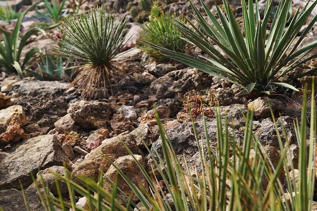 Lenophyllum texanum (J.G. Sm.) J. N. Rose 1904, surrounded by Yuccas