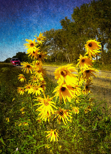 flowers texture flora texas unitedstates tx sunflowers wildflowers roadside hillcountry libertyhill