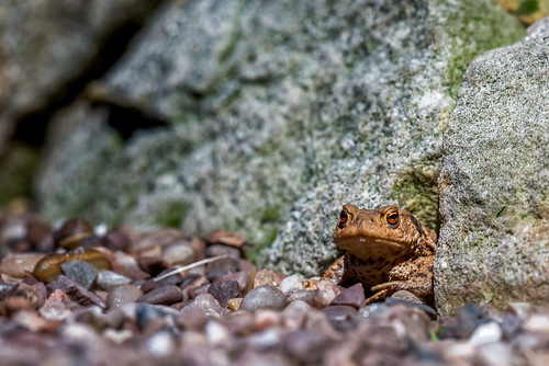 Common Toad | by www.craigrogers.photography