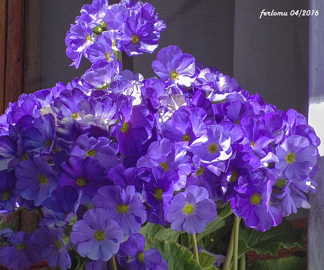 Garganta de la Olla Cáceres) 02 flores