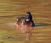 Hardhead (aka White-Eyed Duck) (Aythya australis) (45 – 60 centimetres) (male).02.Durck Waters, Northern Territory, Australia - re-edit in DXO OPtics Pro v.10 by Geoff Whalan