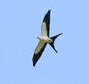 Peru: Swallow-tailed Kite by spiderhunters