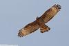 ORIENTAL (CRESTED) HONEY BUZZARD Pernis ptilorhyncus orientalis by Rich Andrews
