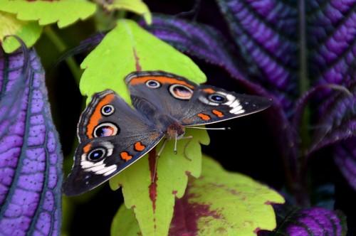 nature butterfly insect cincinnati mariposa buckeye schmetterling grays krohnconservatory farfalle mygearandme mygearandmepremium 2013butterfliesofmorocco jennypansing