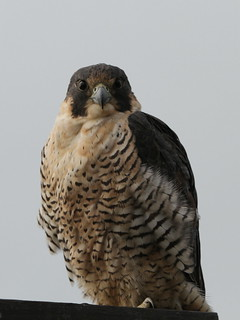 Peregrine on the Dike Platform | by Dennis J. Nelson