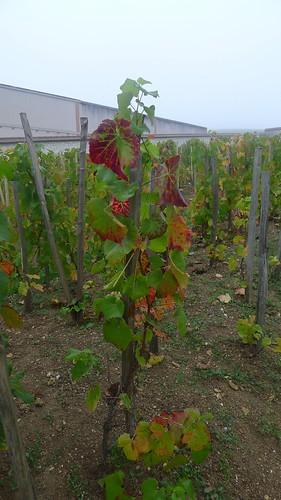 Pinot Noir-ranka hos Bollinger | by university of gastronomy