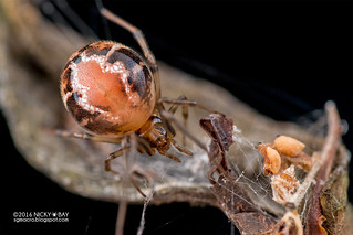 Comb-footed spider (Nihonhimea sp.) - DSC_2288
