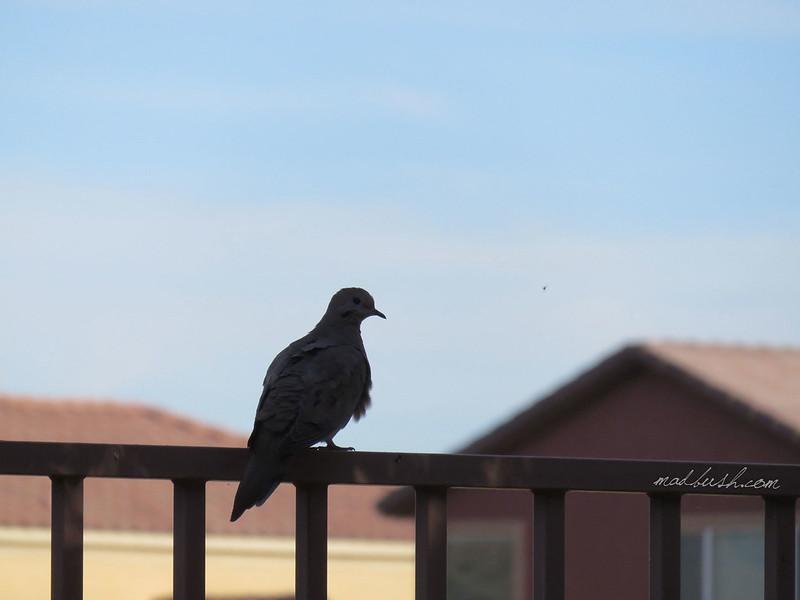 Mourning Dove (Zenaida macroura) Las Vegas, Nevada