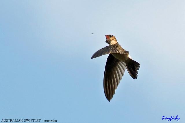 (787) Endemic Australian Swiftlet - [ Daintree National Park, Australia ]