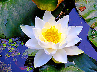 Water Lily | by SharDan2