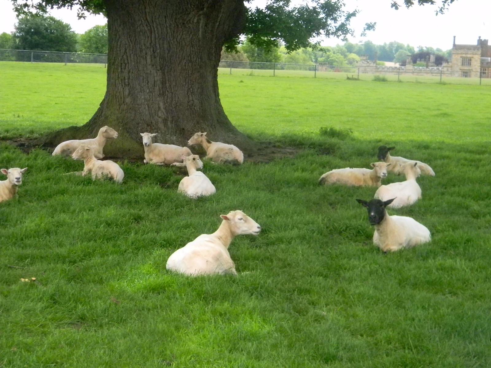 Sheep in the shade Long Leigh circular Penshurst Place