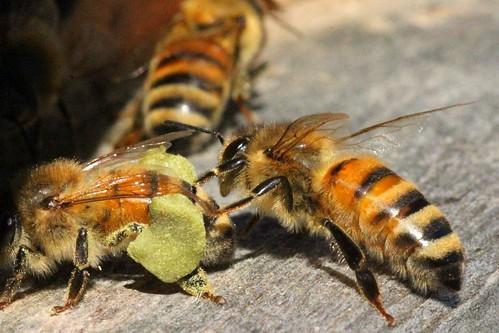 pollen   by treegoat