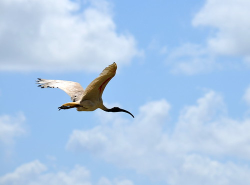 Heron flying over campus, USC Sippy Downs