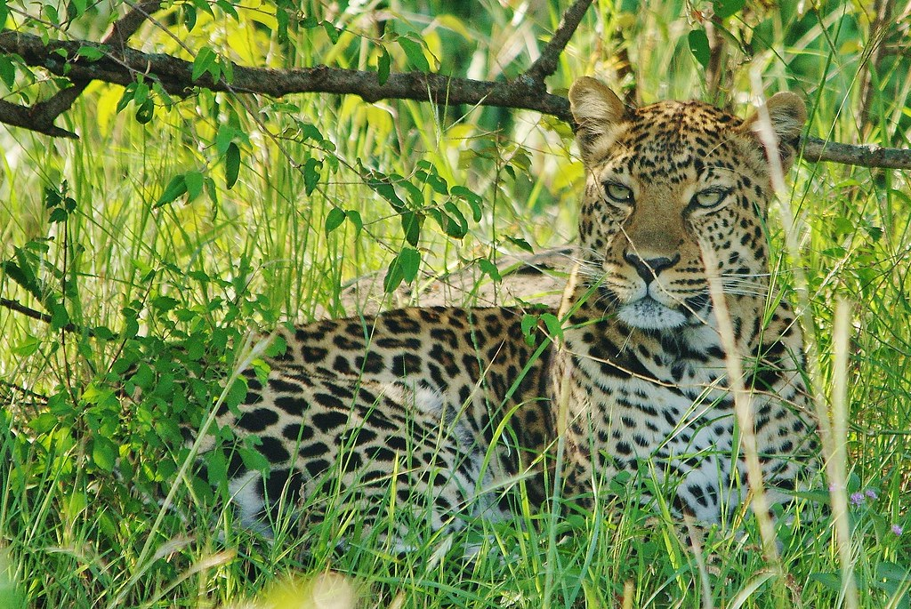 Hidden Leopard Masai Mara National Reserve Kenya East Afri Flickr
